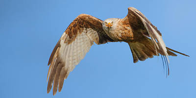 Red Kite Eye Contact Poster
