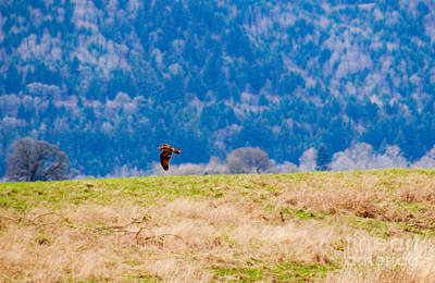 Red Kite In Flight, Oregon Poster by Tim Holt