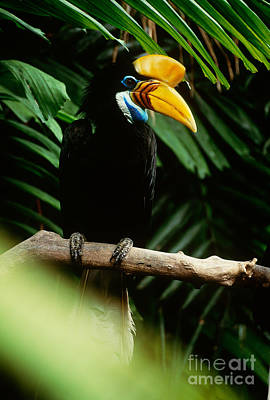 Red-knobbed Hornbill Poster by Art Wolfe