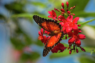 Red Lacewing Butterfly (cethosia Biblis Poster by Chuck Haney