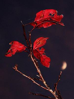 Red Leaves And Fading Moon Poster