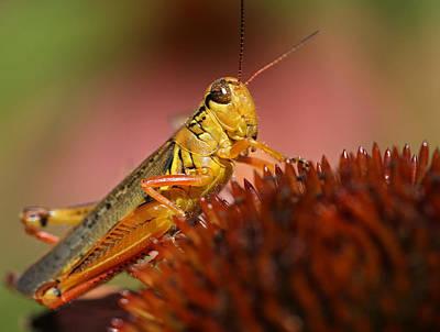Red Legged Locust Poster