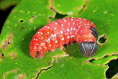 Red Lepidopteran Larva Poster