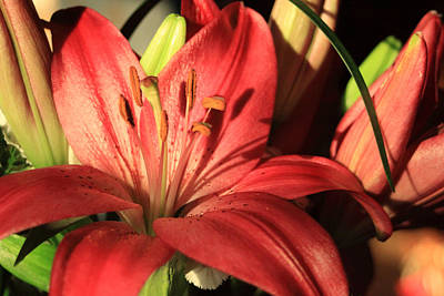 Red Lily With Buds Poster by Linda Phelps