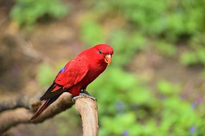Red Lory Poster by Photography  By Sai