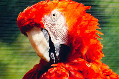 Red Macaw Closeup Poster by Pati Photography