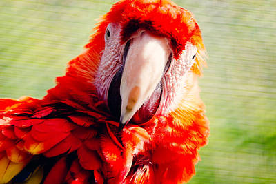 Red Macaw Poster by Pati Photography
