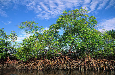 Red Mangrove East Coast Brazil Poster by Pete Oxford