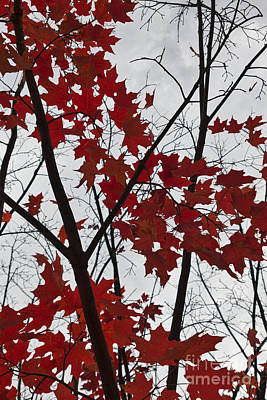 Red Maple Branches Poster by Ana V Ramirez