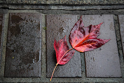 Red Maple Bricks Poster by John Daly