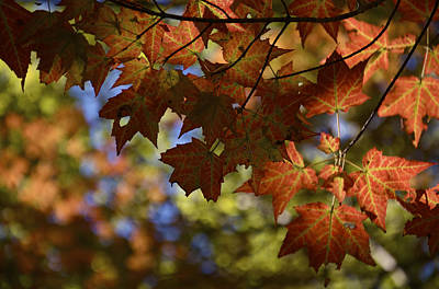Red Maple Canopy Poster