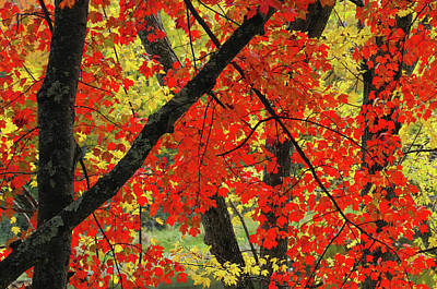 Red Maple Close-up, Sebago Lake State Poster by Michel Hersen