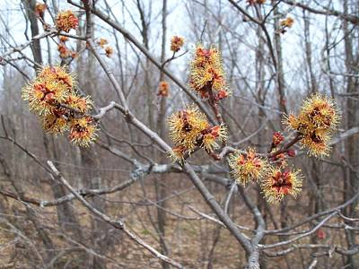 Red Maple In Flower Poster