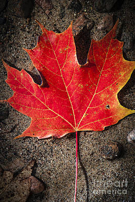 Red Maple Leaf In Water Poster by Elena Elisseeva