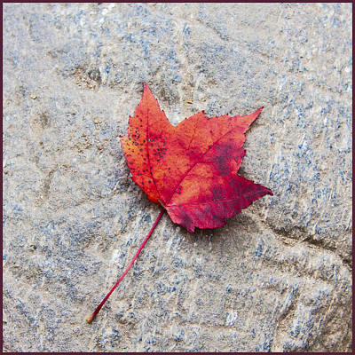 Red Maple Leaf On Granite Stone In A Square Format Poster by Karen Stephenson