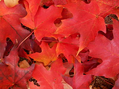 Red Maple Leaves Carpeting The Ground Poster