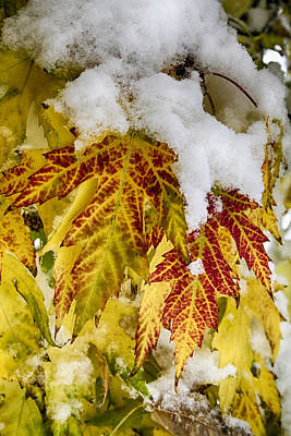 Red Maple Leaves In The Snow Poster