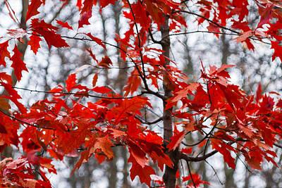 Red Maple Tree Poster by Alexander Senin