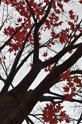 Red Maple Tree Poster by Ana V Ramirez