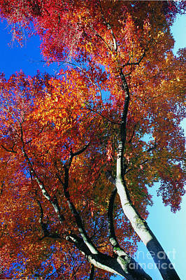 Red Maple Tree Leaves In Blue Sky Poster by Lanjee Chee