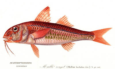 Red Mullet Poster by Collection Abecasis
