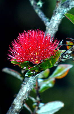 Red Ohia Lehua In Hawaii Volcano Mist Poster