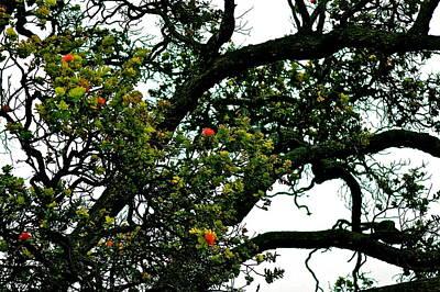 Red Ohia Lehua Tree Poster by Lehua Pekelo-Stearns