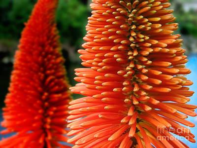 Red-orange Flower Of Eremurus Ruiter-hybride Poster