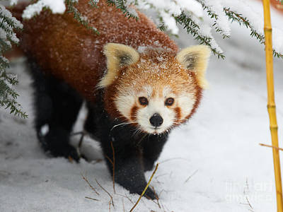 Red Panda In The Snow Poster by Nick  Biemans