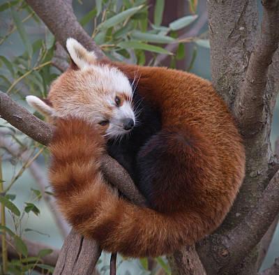 Red Panda Poster