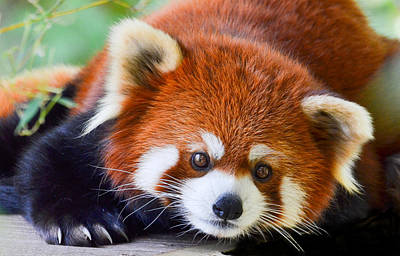 Red Panda Poster by Michael Hubley