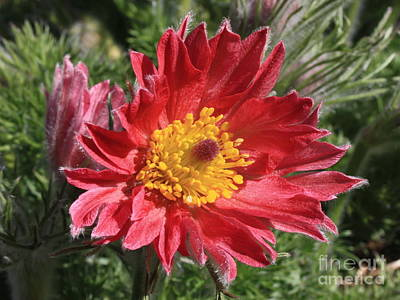 Red Pasque Flower Poster by Carol Groenen