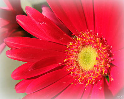Red Petaled Gerbera Poster by Heidi Manly