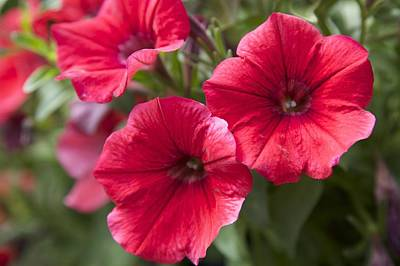 Red Petunias Poster by Terry Horstman