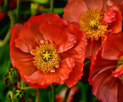 Red Poppies At Fort Worth Botanic Gardens Poster