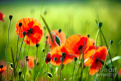 Red Poppies Poster by Boon Mee