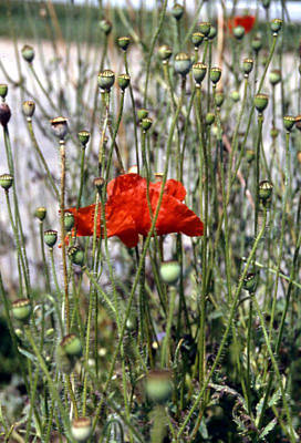 Red Poppy And Buds Poster