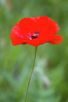 Red Poppy (papaver Rhoeas 'legion Poster by Richard and Susan Day