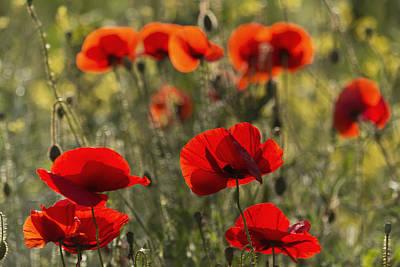 Red Poppy _papaver Rhoeas__ Upper Rhine Poster by Carl Bruemmer