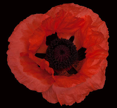 Red Poppy Poster by Susan Rovira