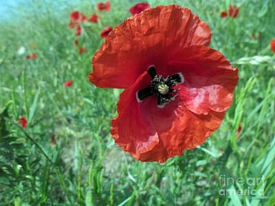 Poster featuring the photograph Red Poppy by Vesna Martinjak