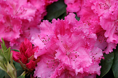 Red Rhododendrons Poster
