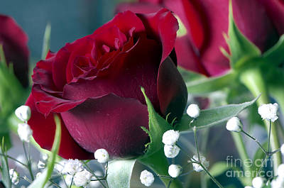 Red Rose Poster by Sharon Talson