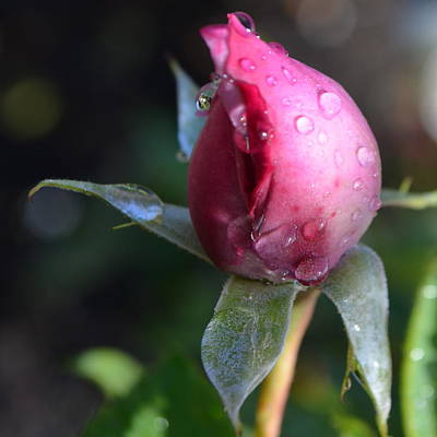 Red Rose With Dew 1.1 Poster by Cheryl Miller