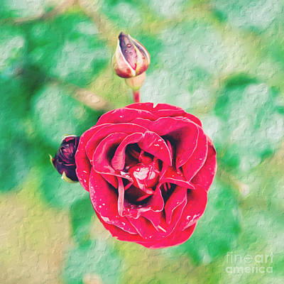 Poster featuring the photograph Red Rose by Yew Kwang