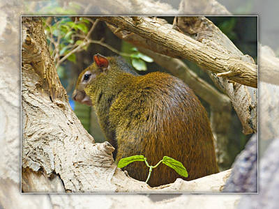 Red-rumped Agouti Poster