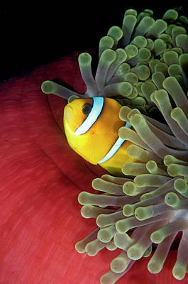 Red Sea Anemonefish In Host Anemone Poster by Dray van Beeck