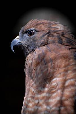 Red Shouldered Hawk 295 Poster