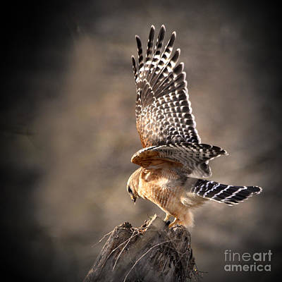 Red-shouldered Hawk Action Poster by Nava Thompson
