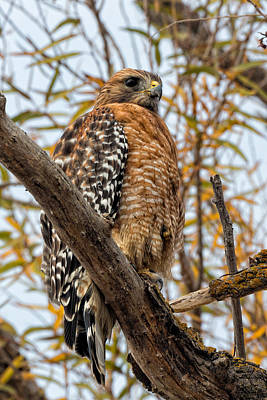 Red-shouldered Hawk In A Willow Tree Poster